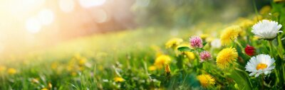 Papiers peints Beautiful summer natural background with yellow pink flowers daisies, clovers and dandelions in grass against of dawn morning. Ultra-wide panoramic landscape,  banner format.