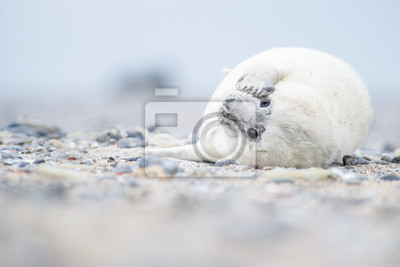 Bébé phoque gris blanc allongé sur une plage à la recherche mignon