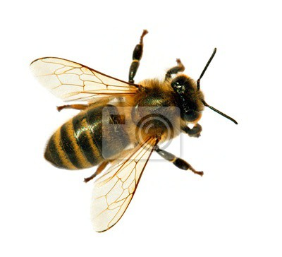Papiers peints bee or honeybee or honey bee isolated on the white