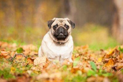 Papiers peints Beige carlin chien assis sur les feuilles en automne