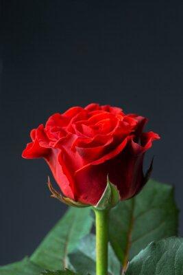 Papiers peints Belle rose rouge