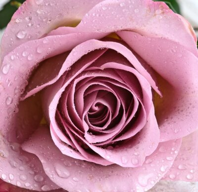 Papiers peints Belle rose violet