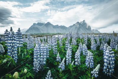 Papiers peints Belle vue de fleurs de lupin parfait par journée ensoleillée. Cap de Stokksnes, Vestrahorn (Mont Batman), Islande, Europe. Image merveilleuse du paysage de nature d'été. Découvrez la beauté de la
