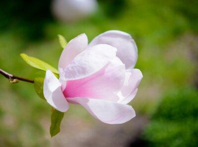 Papiers peints Belles fleurs rose Magnolia sur fond vert. Floral Spring image
