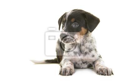 Berger australien mignon bovins australiens chien mélanger chiot couché en regardant vers la gauche sur un fond blanc