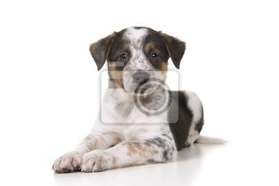 Berger australien mignon chien de bétail australien mélanger chiot couché
