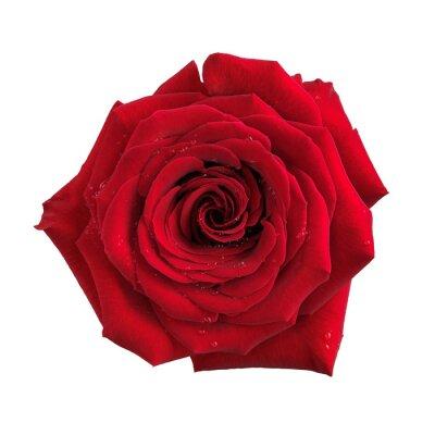 Papiers peints Big rose fleur rouge isolé