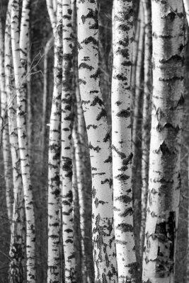 Birch Arbre Troncs Noir Blanc Naturel Fond Papier Peint