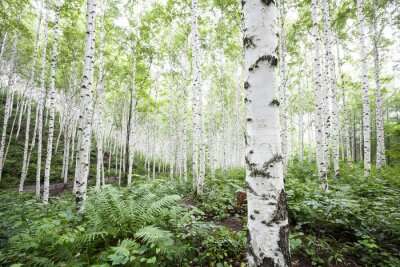 Blanc, bouleau, arbres, forêt, été papier peint • papiers peints ...