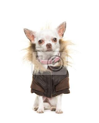 Blanc, chihuahua, chien, Porter, brun, hiver, manteau, séance, faire face, appareil photo, isolé, blanc, fond