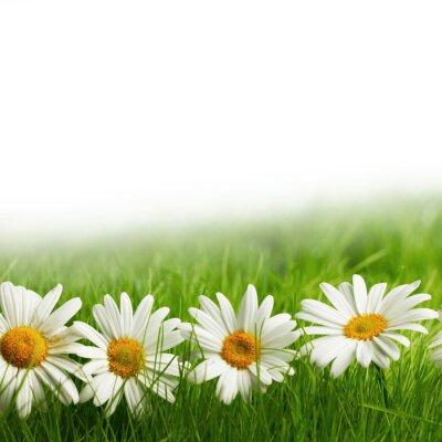 Papiers peints Blanc, marguerite, fleurs, vert, herbe