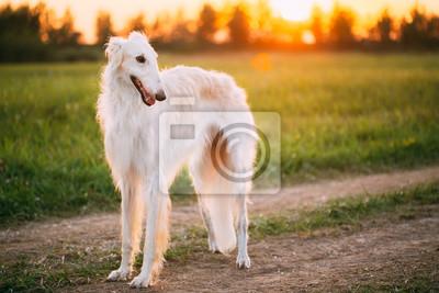 Blanc, russe, chien, borzoi, chien, chien, été ... papier peint ...