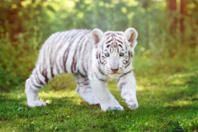 Papiers peints Blanc, tigre, chiot, marche, dehors