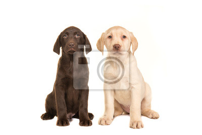 Blond, brun, labrador, retriever, chiot, faire face, appareil photo, séance, isolé, blanc, fond