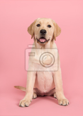Blond labrador retriever looking at the camera sitting on a pink background with mouth open