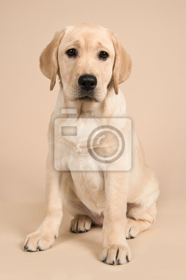 Blond labrador retriever looking at the camera sitting on a sand colored background