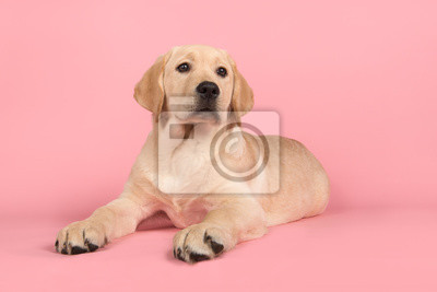 Blond labrador retriever puppy lying down on a pink background looking up