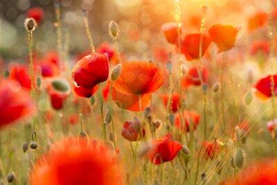 Papiers peints Blooming champ de coquelicots dans la lumière du soir avec Bokeh