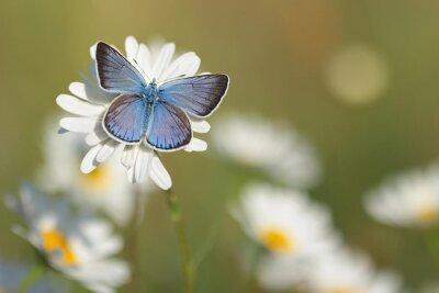 Papiers peints Blue Butterfly commune