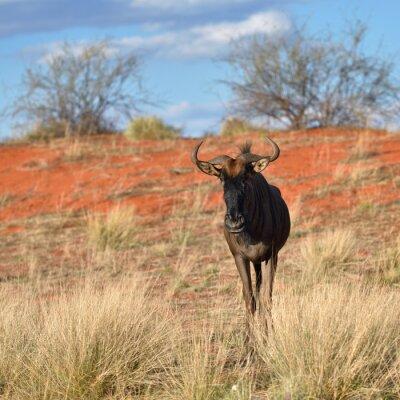 Papiers peints Blue wildebeest antilope