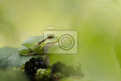 Boomkikker rustend op een braamstruik tussen het groen