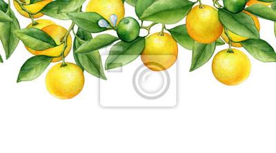 Bordure homogène avec des branches d'agrumes frais arrondis au cumquat (également appelé Marumi ou Morgani kumquat) avec des feuilles et des fleurs vertes. Main a attiré Aquarelle sur fond blanc.