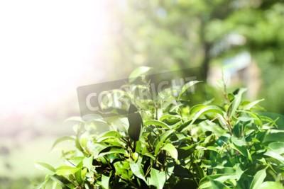 Papiers peints Bouillon de thé vert aux feuilles fraîches, en plein air