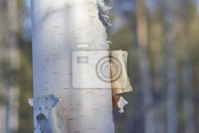 Papiers peints Bouleau, écorce, fin, haut