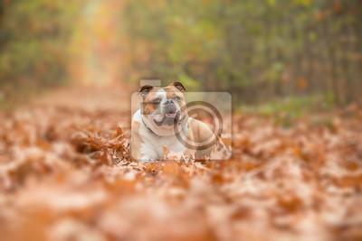 Bouledogue anglais, chien, coucher, allée, couvert, automne, feuilles, forêt