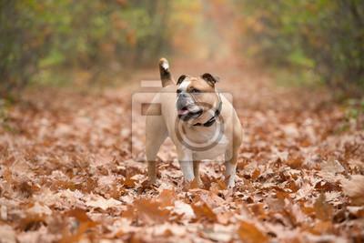 Bouledogue anglais, chien, debout, dans, a, ruelle, couvert, par, automne, feuilles, dans, a, forêt