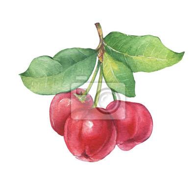 Branche d'Acerola (cerise de la Barbade, cerise thaïlandaise, Malpighia glabra) avec des baies. Acerola fruit tropical - plante médicinale. Illustration de peinture aquarelle dessinés à la main isolé