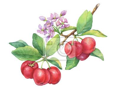 Branche d'acérola mûre (cerise de la Barbade, cerise thaïlandaise, Malpighia glabra) avec des baies, des fleurs. Acérola rouge - fruit tropical. Illustration de peinture aquarelle dessinés à la main i