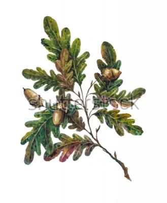 Papiers peints Branche de chêne aquarelle, feuilles et glandes isolées sur blanc. Illustration botanique de style vintage. Élément rustique peint à la main, décoration florale pour mariage.