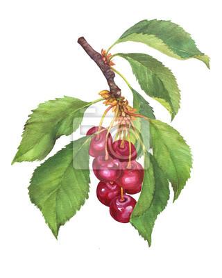 Branche de fruits cerise noire avec baies et feuilles. Aquarelle main dessinée illustration de peinture isolée sur fond blanc.
