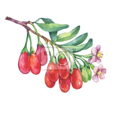 Branche de plante de goji avec des baies rouges, des fleurs et des feuilles. Fruits de goji frais (Lycium barbarum, vigne matrimoniale, goji). Illustration de peinture aquarelle dessinés à la main iso