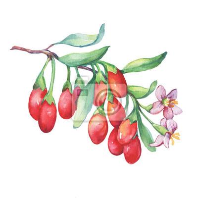 Branche de plante de goji avec des baies rouges, des fleurs et des feuilles. Fruits frais de goji (Lycium barbarum, vigne matrimoniale, goji). Illustration de peinture aquarelle dessinés à la main iso