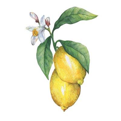 Branche, frais, citrus, fruit, citron, vert, feuilles, fleurs Main, tiré, aquarelle, peinture, blanc, fond