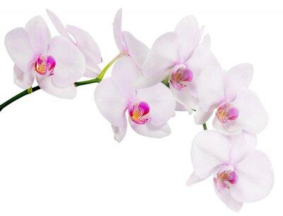 Branche Isolee Avec Sept Fleurs Dorchidee Rose Clair Papier Peint