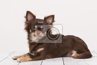 Brun, chihuahua, chien, mensonge, Bas