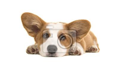 Brun et blanc gallois corgi pembroke chiot couché sur le sol avec sa tête vers le bas en regardant la caméra