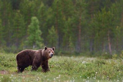 Papiers peints Brun, ours, forêt, fond