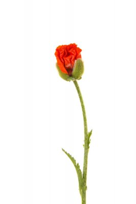 Bud of a poppy flower just opening isolated on a white background