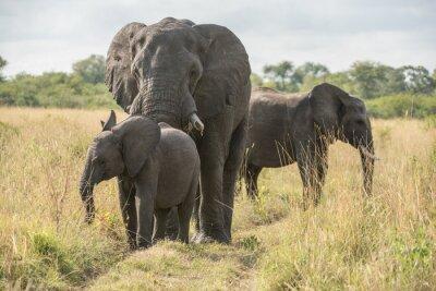 Papiers peints Bull éléphant cub