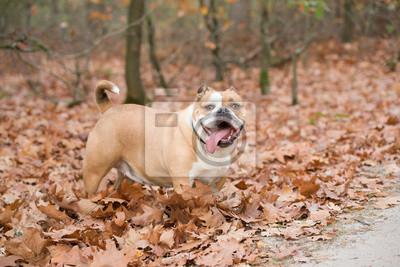 Bulldog anglais à l'extérieur debout entre les feuilles d'automne dans une forêt