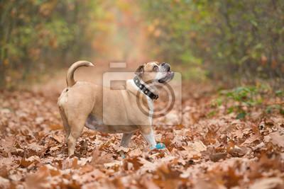 Bulldog anglais à l'extérieur vu de côté en levant debout entre les feuilles de l'automne dans une allée forestière