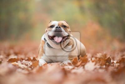 Bulldog anglais heureux couché entre les feuilles d'automne dans une forêt en regardant la caméra