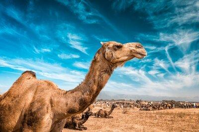 Papiers peints Camel en Inde
