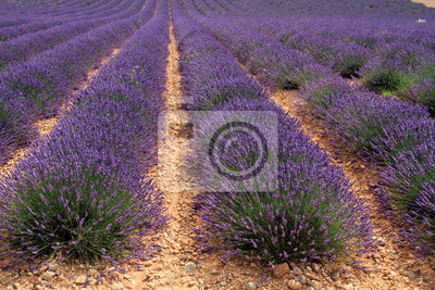 campi di lavande dans provenza
