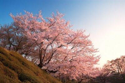 Papiers peints Cerise, fleurs, Kiyomizu-dera, Kyoto, Japon
