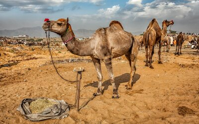 Papiers peints Chameaux à Pushkar Mela Camel Fair, Inde